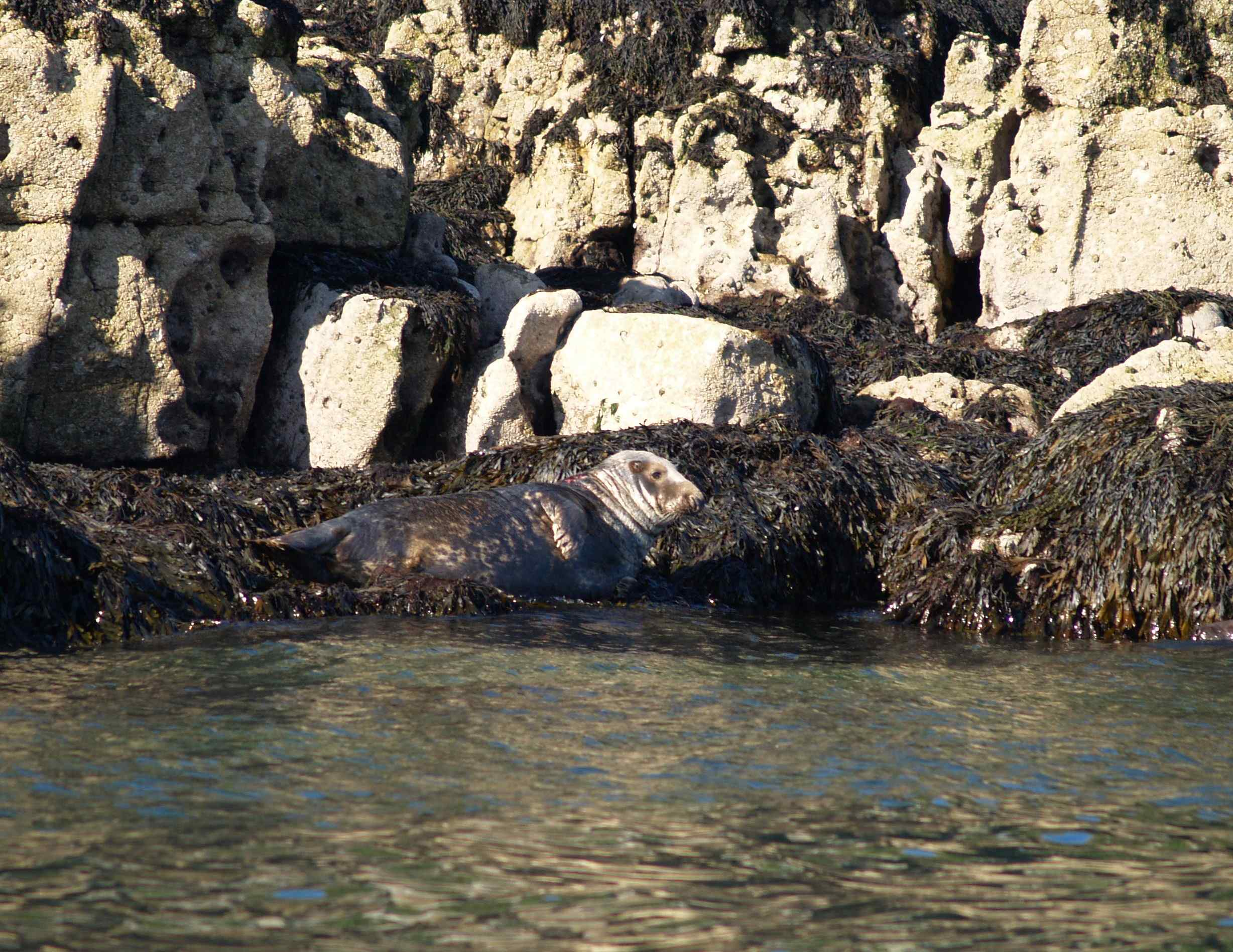 A Grey Seal basks on the rocks at Puffin Island