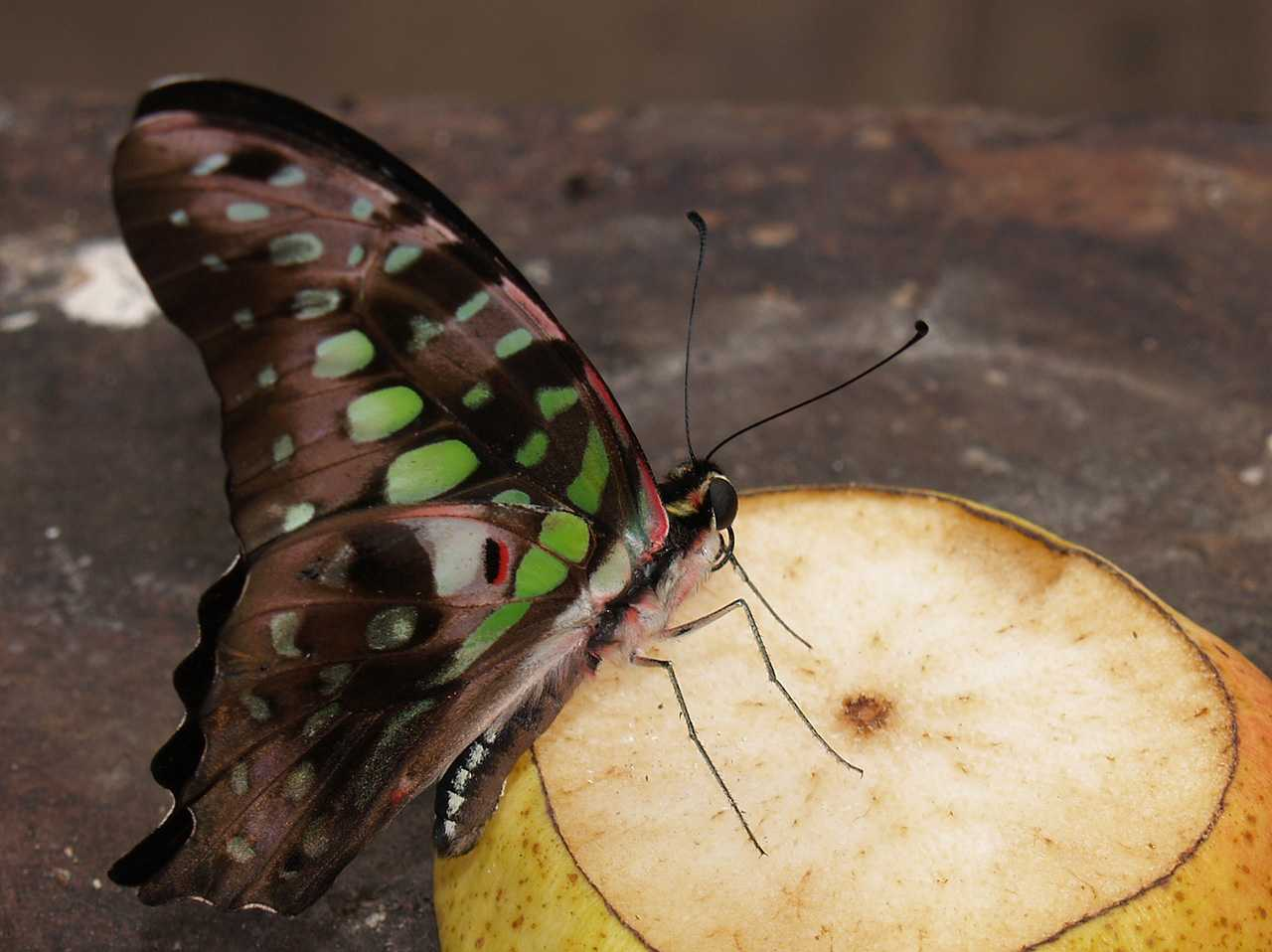 Anglesey, Pilis Palas, Butterfly on an apple
