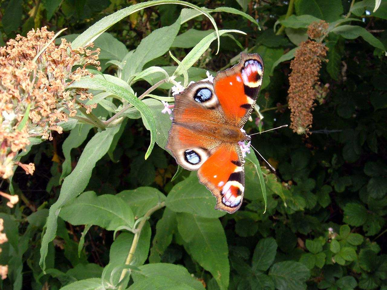 Butterflies, Peacock Butterfly