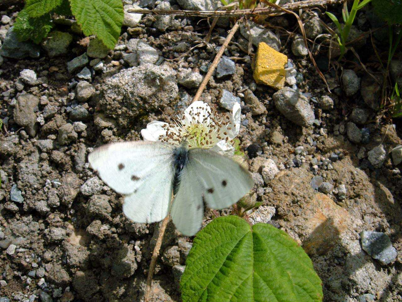Butterflies, Small White