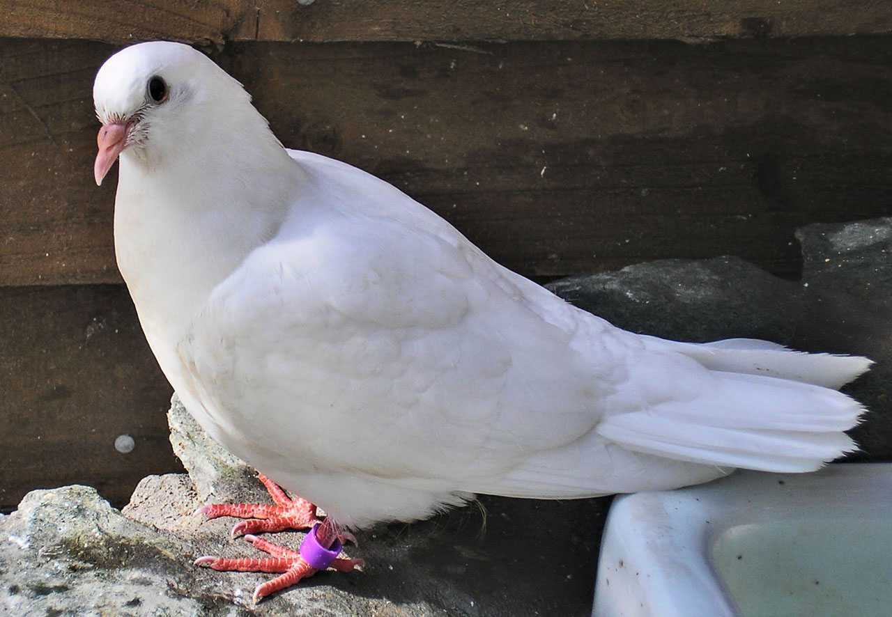 White Dove Release on Anglesey