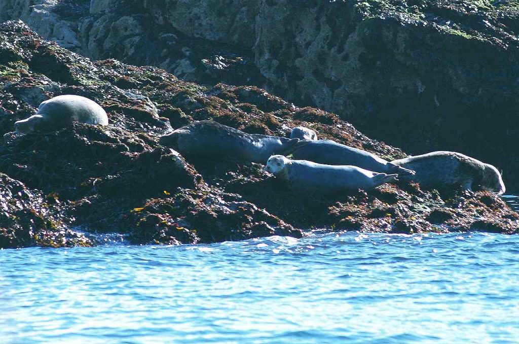 A group of Grey seals on the rocks of Puffin Island Anglesey